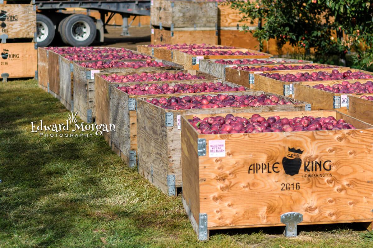 Apple-farm-photos-12