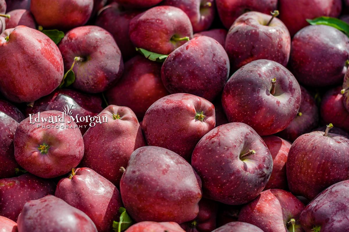 Apple-farm-photos-5