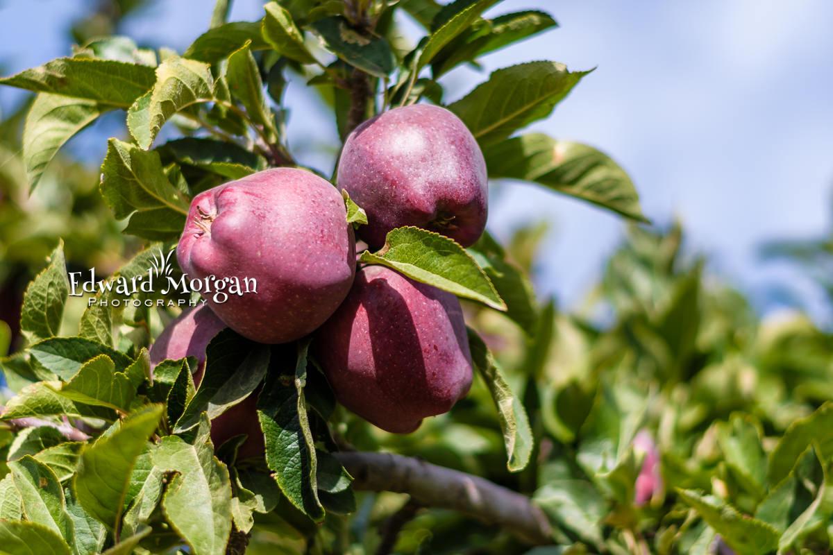 Apple-farm-photos-54