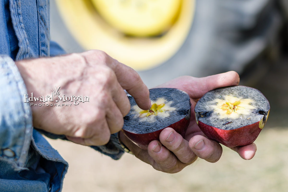 Apple-farm-photos-60